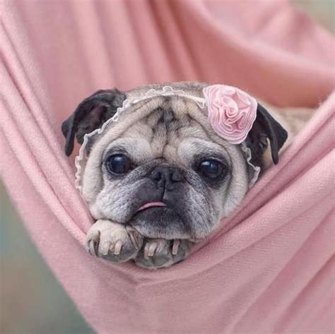 the pink pug 17 best images about pugs on pug pug and brindle pug