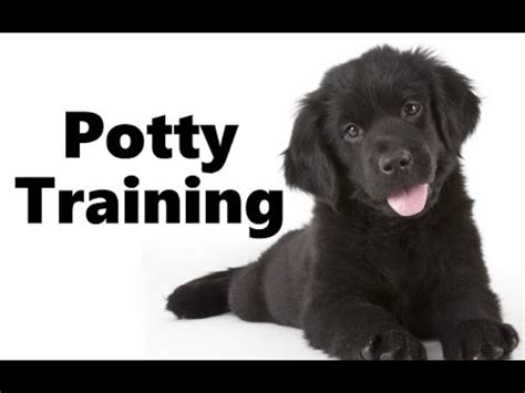 how to potty a 2 year rescue 11 month newfoundland otis before after 2 week board and