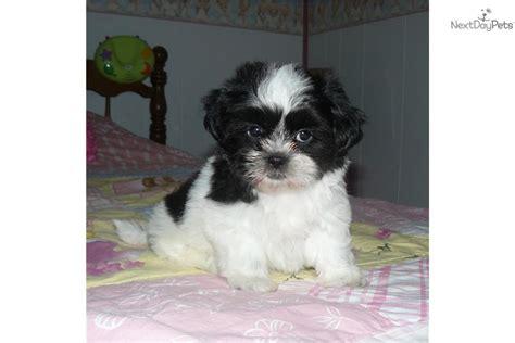 black shih tzu puppy names shih tzu puppy for sale near kansas city missouri 491b1e3a 56b1