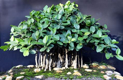 Indoor Trees Low Light by 22 Best Trees For Bonsai Best Bonsai Plants Balcony