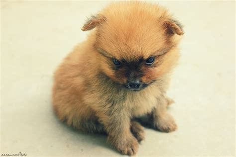 pictures of baby pomeranians baby pomeranian by sarawnm on deviantart