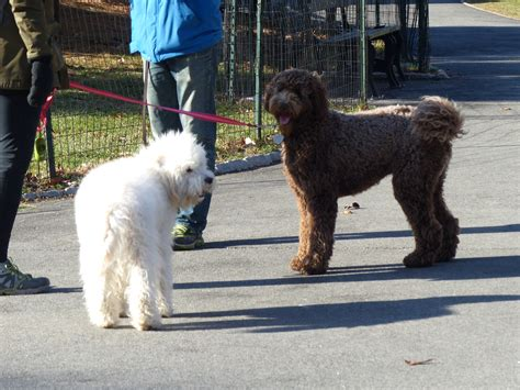goldendoodle central ny on the lookout for poos in central park