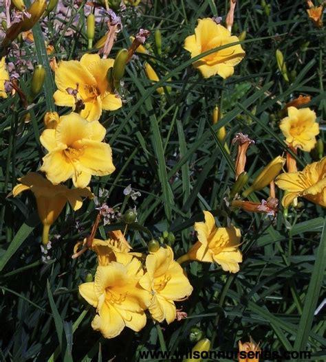 Stelan Flower stella d oro daylily wilson nurseries