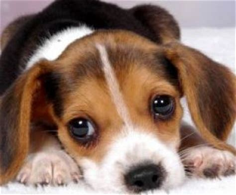 beagle basset hound puppies beagle 5 tips for beagle breeds picture