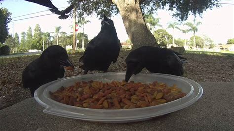 crows eating meow mix cat food youtube