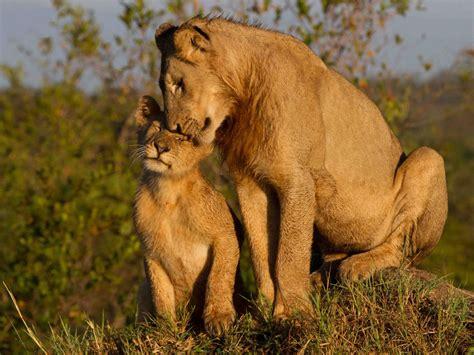 maternal love lioness  cub widescreen