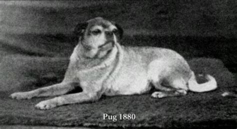 what pugs looked like before selective c 1880 rebrn what pugs used to look like back in the day animals posts we and the