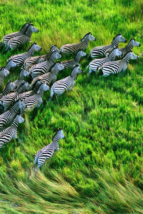 retina macbook pro zebra wallpaper appletips