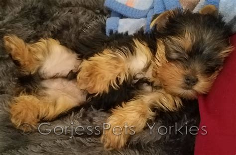 puppy near me yorkie breeders near me puppies for sale 702 789 7892 gorjesspets