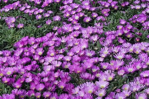 Blumen F R Schattige G Rten 997 by Immergr 252 Ne Pflanzen F 252 R Sonnige Standorte Immergr Ne