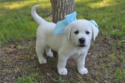 baby lab puppies white lab puppy would to take pic like this of bonny and baby photo