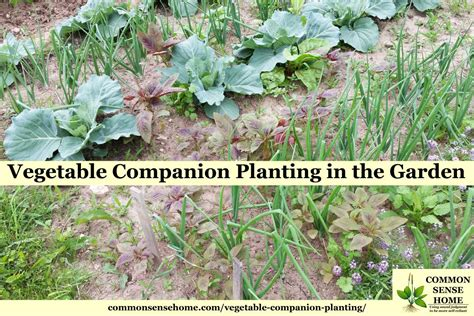 Companion Plants Vegetable Garden Vegetable Companion Planting In The Garden