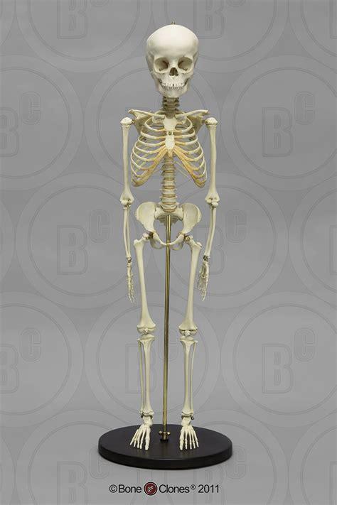 articulated modern human  year  child skeleton bone