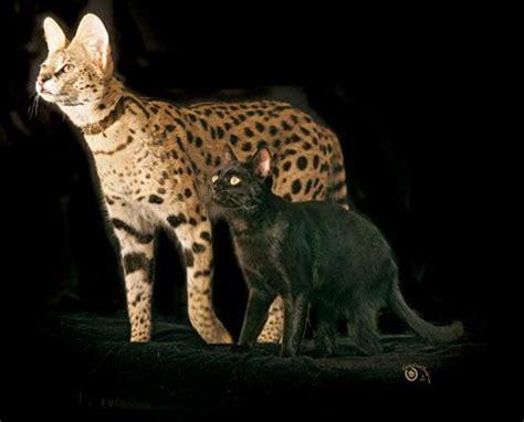 savannah house cat savannah cat vs reg house cat animals love them all pinterest