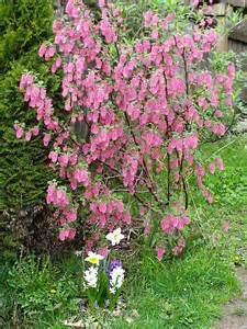 flowering garden shrubs flowering currant minerva s garden