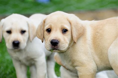 puppy yellow lab yellow labrador puppy www pixshark images