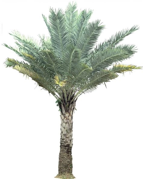 Fruit Trees You Can Grow Indoors - tropical plant pictures palm phoenix sylvestris