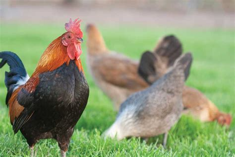 benefits of backyard chickens the benefits of raising free range chickens