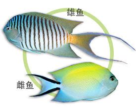 虎皮新娘 genicanthus melanospilus