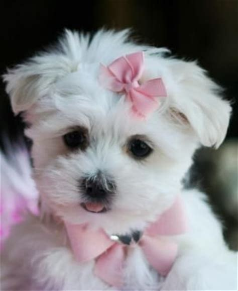 maltipoo puppies for sale in florida teacup maltese puppies puppys and on