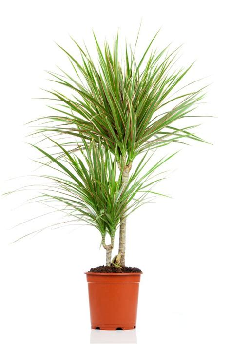 buy house plants now dracaena marginata green bakker com 20 best kwiaty doniczkowe na balkon i tarasy images on