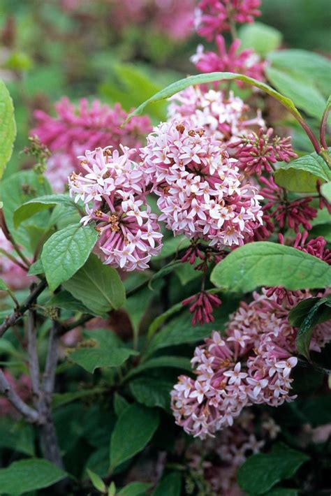 flowering shrubs canada 18 lilac varieties hgtv