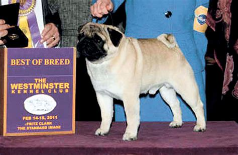 pug show lodi pug takes best of breed at westminster show lodinews news