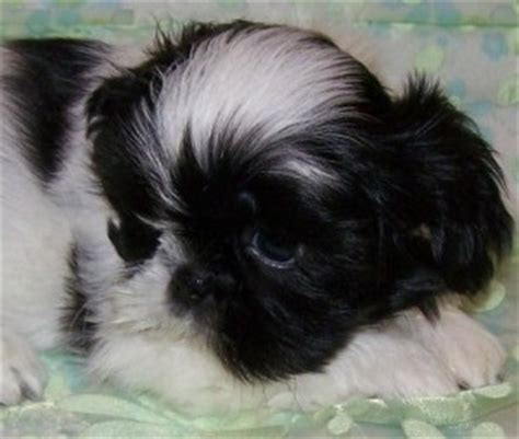 baby shih tzu adoption husky pups for sale fitchburg wi asnclassifieds