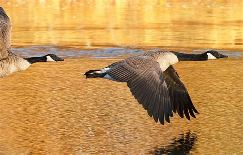 Birds Shed Feathers by Canada Goose Jacket Shedding Feathers Canada Goose