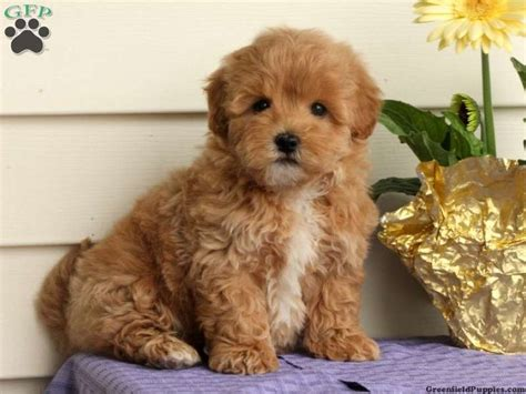 cinnamon maltipoo puppies for sale 16 best images about maltipoos on