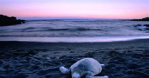 punalu u hawaii sea turtle punalu u hawaii the world s most and beautiful beaches