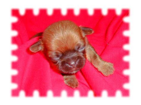 shih tzu chihuahua pug mix shih tzu chihuahua pug mix page