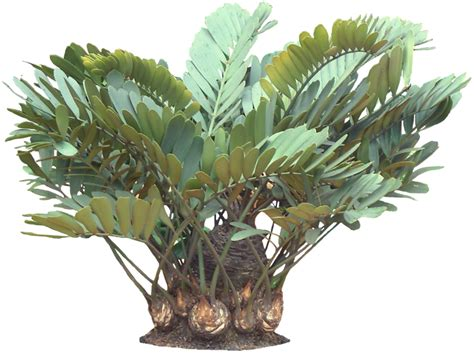 potted tropical plants tropical plant pictures zamia furturacea carborad palm