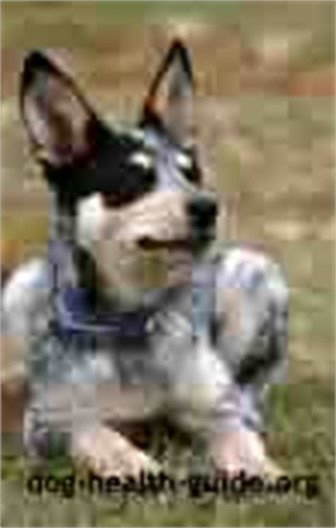rottweiler age symptoms addisons disease symptoms diagnosis and treatment