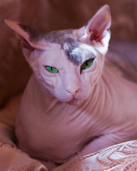 Overweight Sphynx Cat images