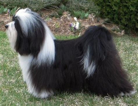 pied havanese 17 best images about havanese on