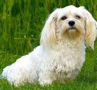 havanese housebreaking problems havanese what s about em what s bad about em