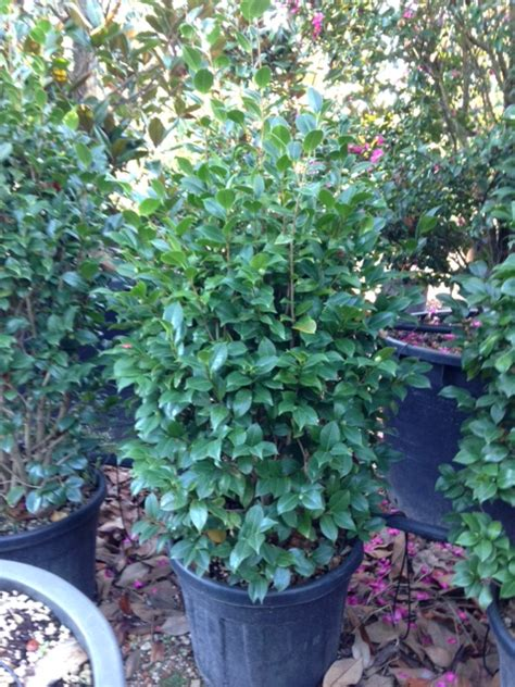 potatura camelia in vaso produzione vivai panconi pistoia magnolie arbusti da