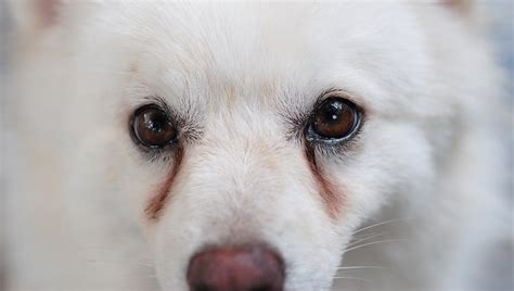 white discharge from s eye tear stains dogs what they and what you should do about them dogtime