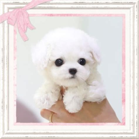 puppy boutique near me teacup puppies for sale related keywords suggestions teacup puppies for sale
