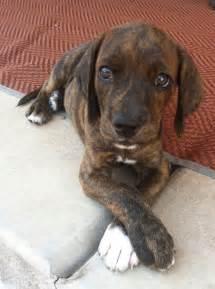 plott puppies pin by jen edmondson on plott hounds and other dogs