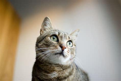 alimentazione gatto adulto dieta sana e fresca per il gatto adulto centro