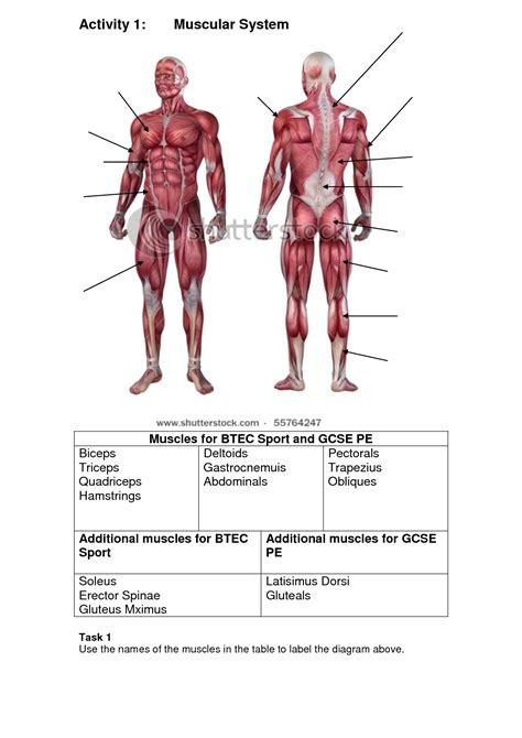 muscular system diagram labeled identification worksheet worksheets reviewrevitol