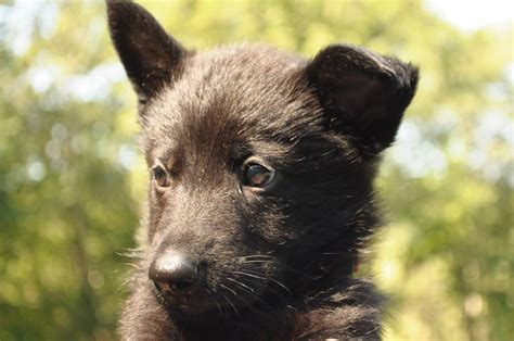 haired black and german shepherd puppies for sale purebred german shepherd puppies for sale may 2018 by haus
