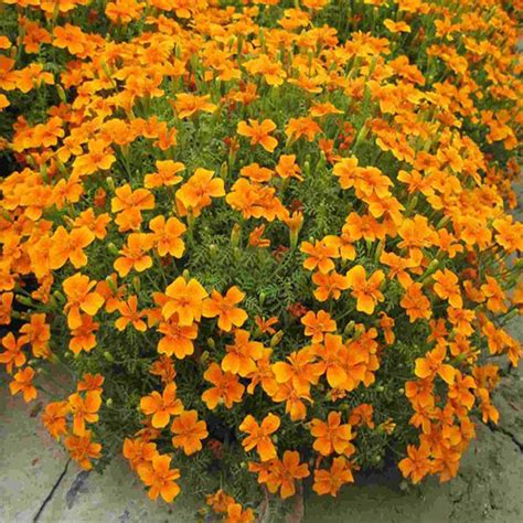 marigold patula tagetes flower garden plant seed