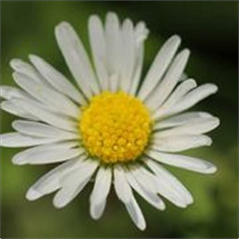 fiori simili alle margherite margherite perenni margherite perenni