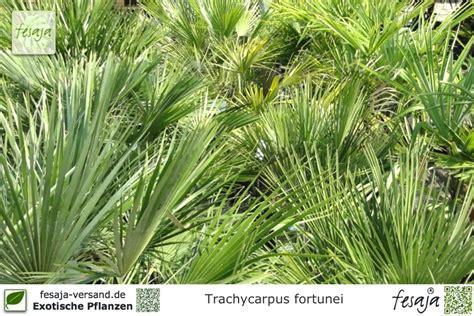 Chinesische Garten Pflanzen by Chinesische Hanfpalme Trachycarpus Fortunei Pflanze