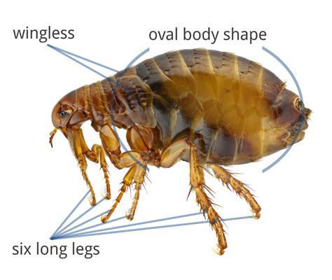 what does a flea look like on a what do fleas look like flea identification