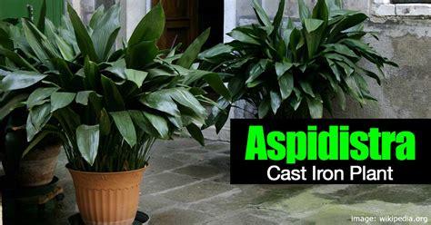 cast iron plant   grow  care  aspidistra plant