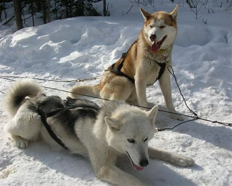 sled breeds oltre 1000 idee su samoiedo siberiano su cani samoiedo cuccioli samoiedo